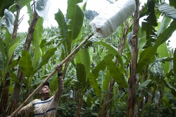 Campo de plátano en Tlapacoyan, Veracruz/Fotover: Miguel Angel Carmona