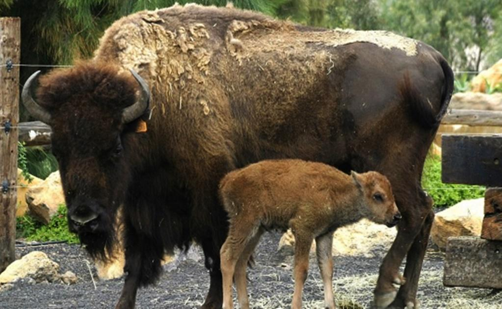 O Bisonte Banda Ahora muere una bisont...