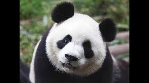 Solo quedan 50 pandas en el mundo, en un centro de reproducción de China