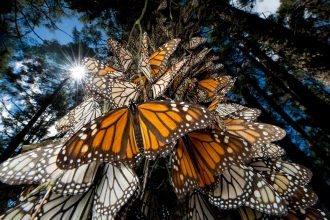 """Santuario de la Mariposa Monarca, """"El Rosario"""", 4 millones de mariposa vienen a México, pero están en peligro."""
