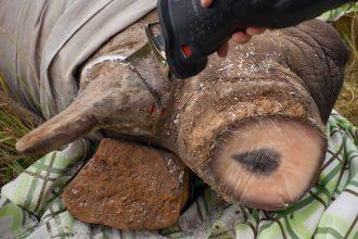 Los chinos son los principales compradores de los cuernos de Rinoceronte, ya que lo venden caro en usos de medicina tradicional