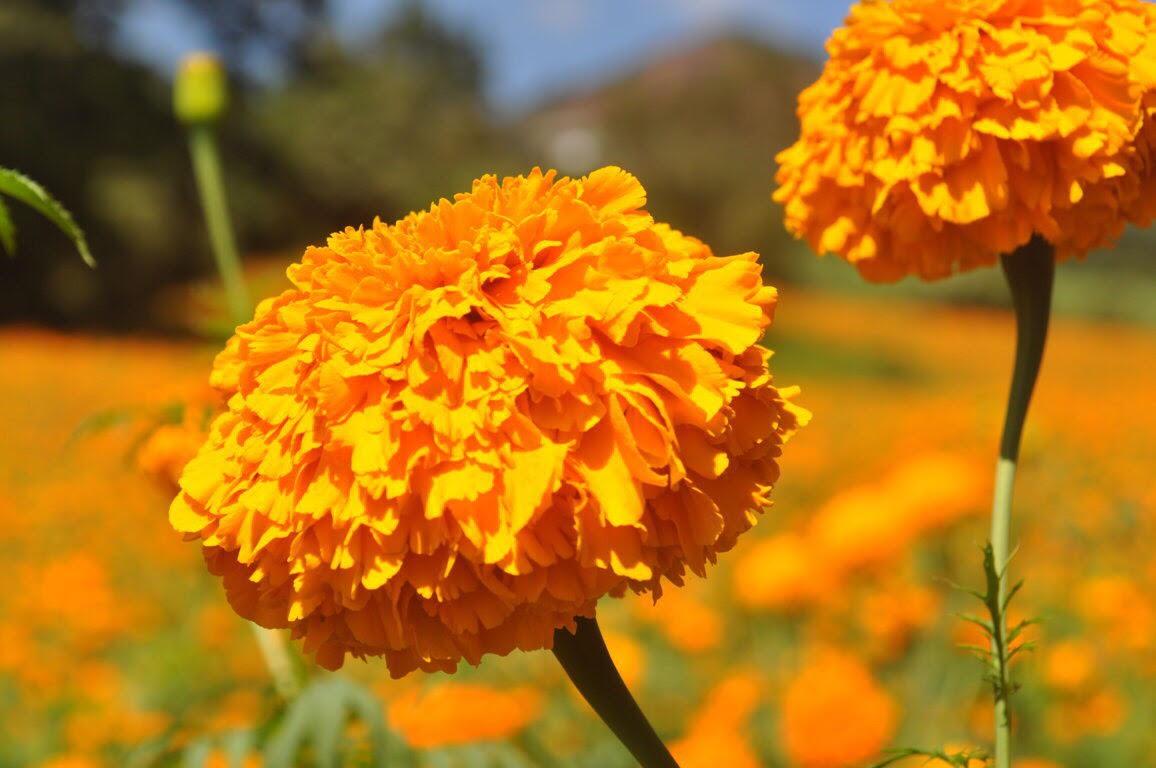 En Coacoatzintla cuando ven florecer los plantíos de